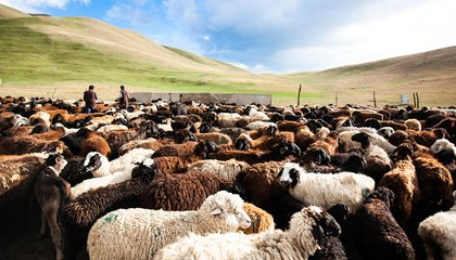 53 Sheep returned from grazing in the pasture during the day_MIRLAN ABDULAEV