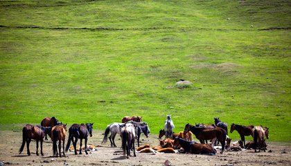 9 Grazing horses in the Kyrgyz jailoo_MIRLAN ABDULAEV