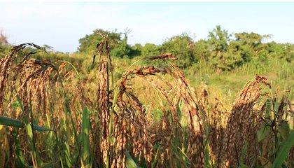 cultivo de arroz criollo en Pueblo Nuevo_MarialabajaColombia.jpg